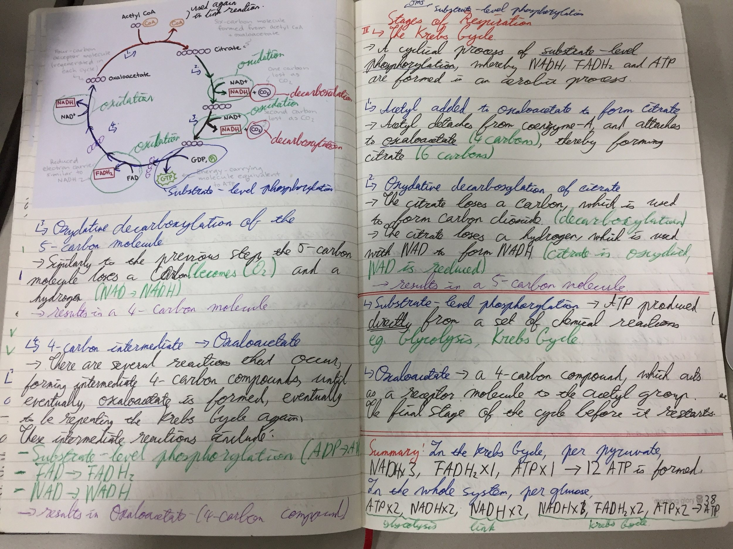 My IB Biology notes about Respiration (Unit 8). Click to enlarge the image.