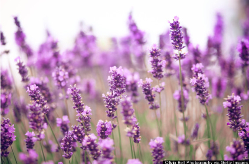 Lavender can help you sleep -