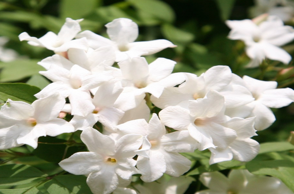 Jasmine may ease depression -