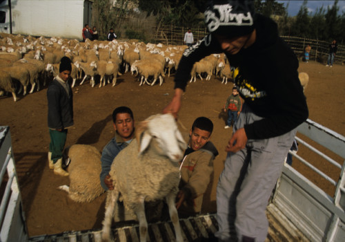 loading-sheep-crop1.jpg
