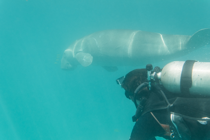 Aban, the friendly dugong of Calauit