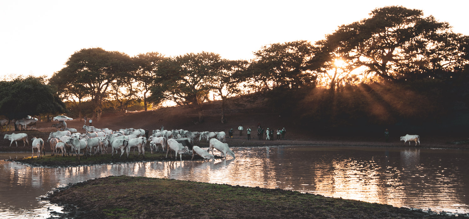 Water buffaloes drinking from a lake at sunset.