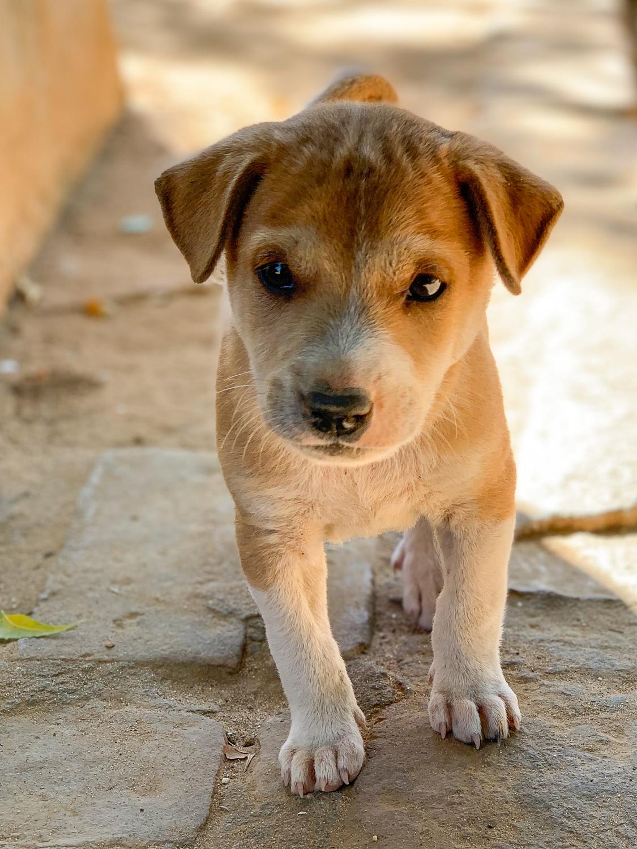 Cute puppy playing at Kyat Kan Kyaung Monastery next to Nana Pyunnyar Temple in Bagan.