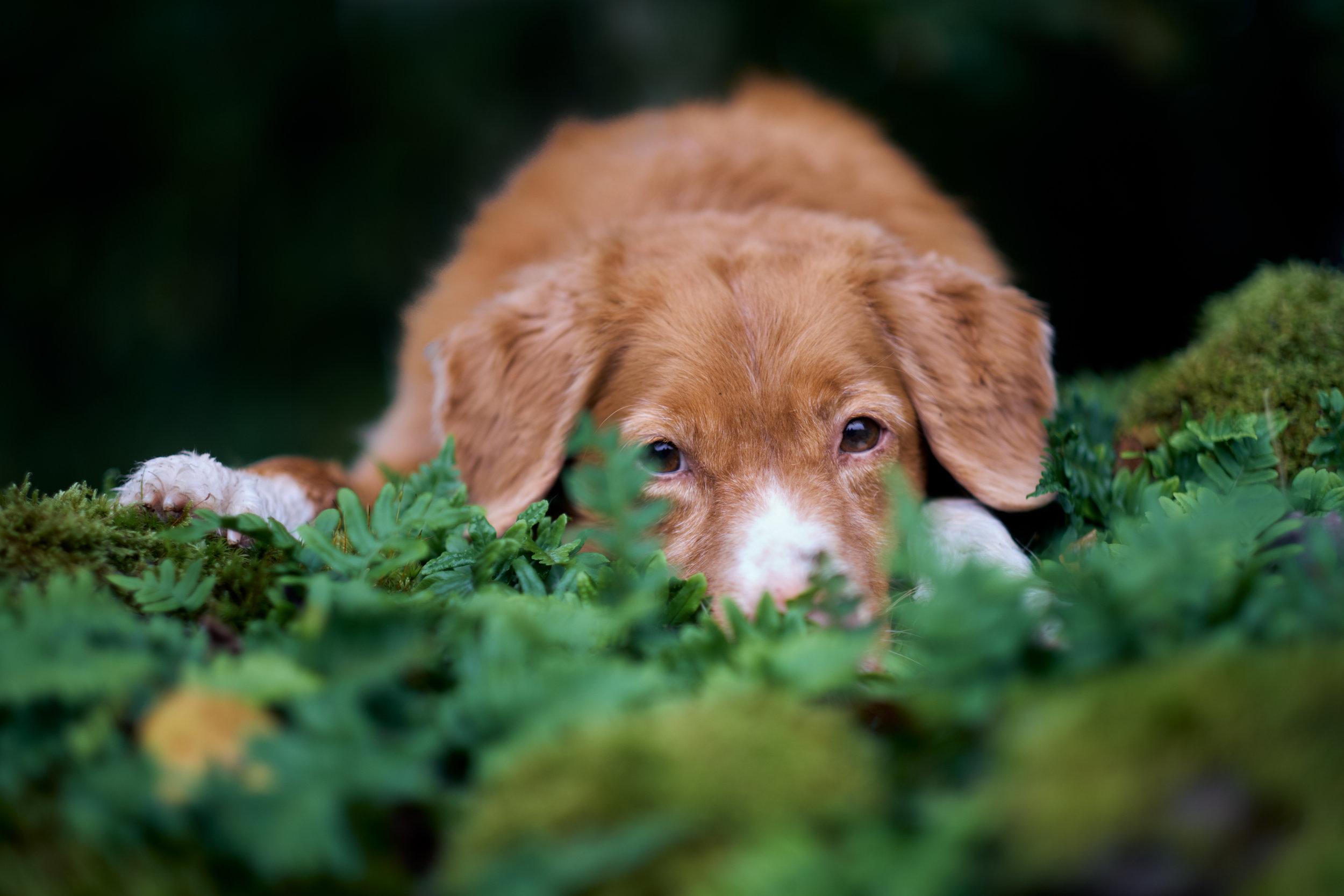 Hundfotograf Höör Tollare ligger i mossan