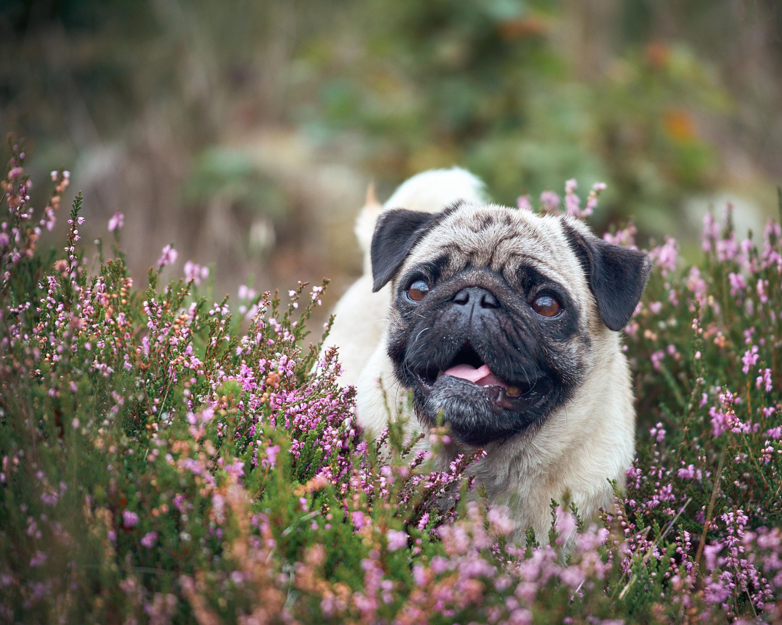 Hundfotograf höör mops ljung glad