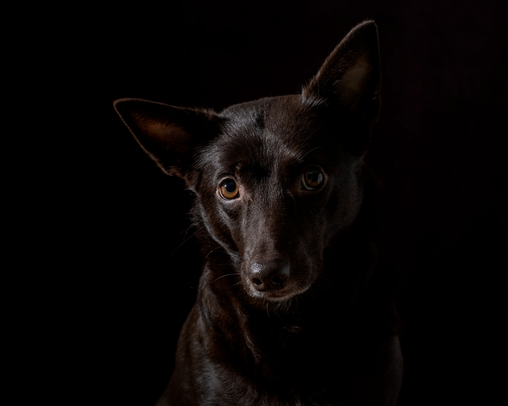 fotograf porträtt kelpie hund studio Skåne