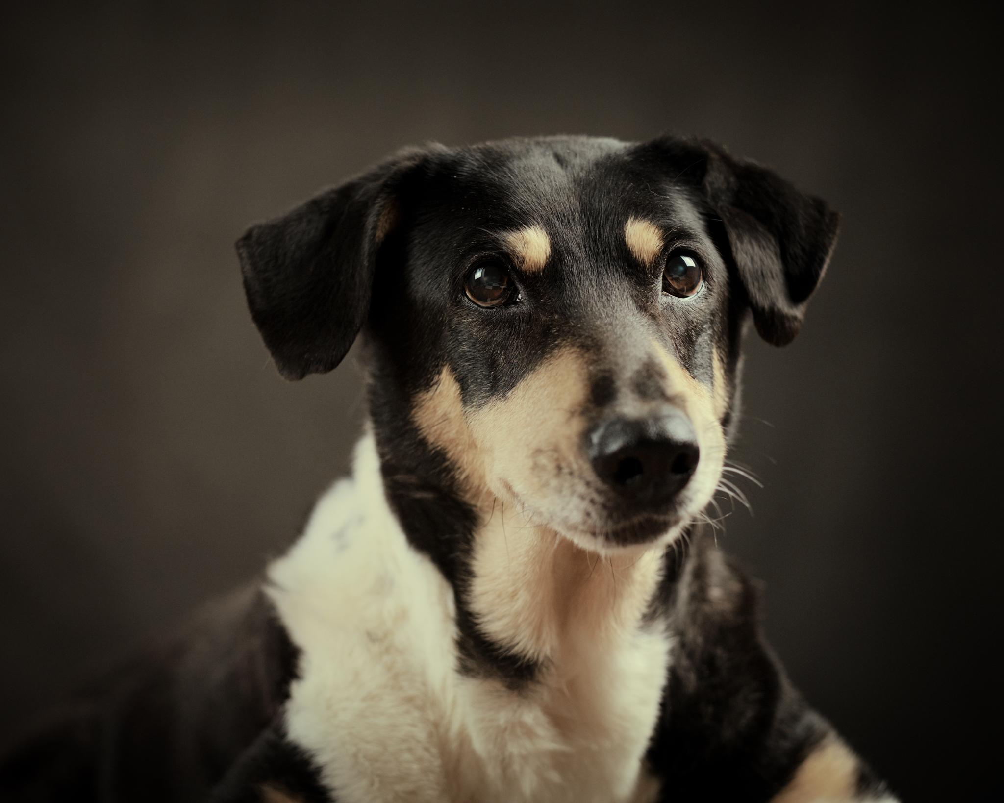 studio porträtt hund fotograf skåne
