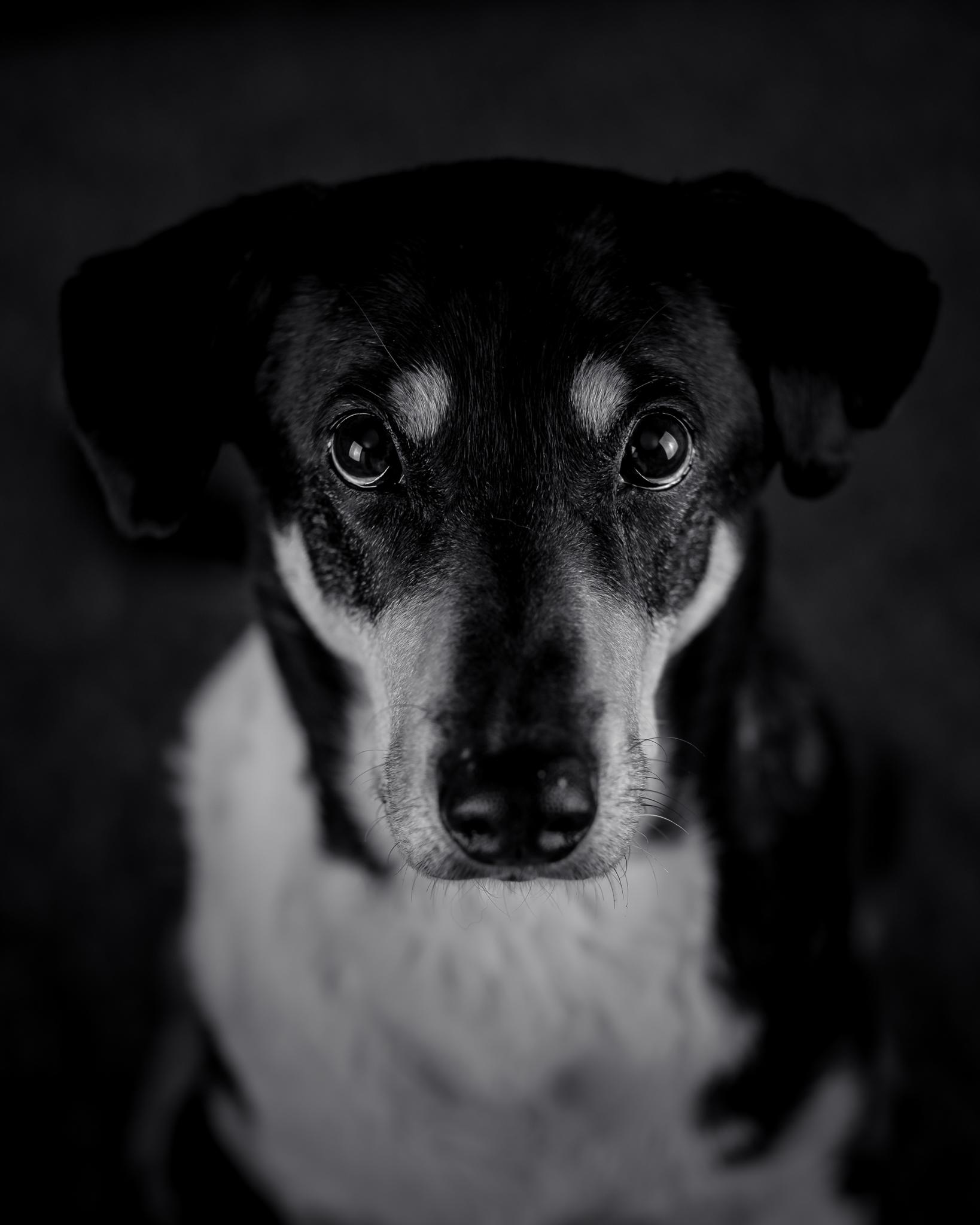 studioporträtt hund fotograf skåne