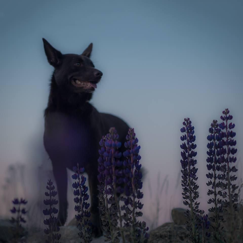 hund kelpie blå timmen skåne hundfotograf fotograf