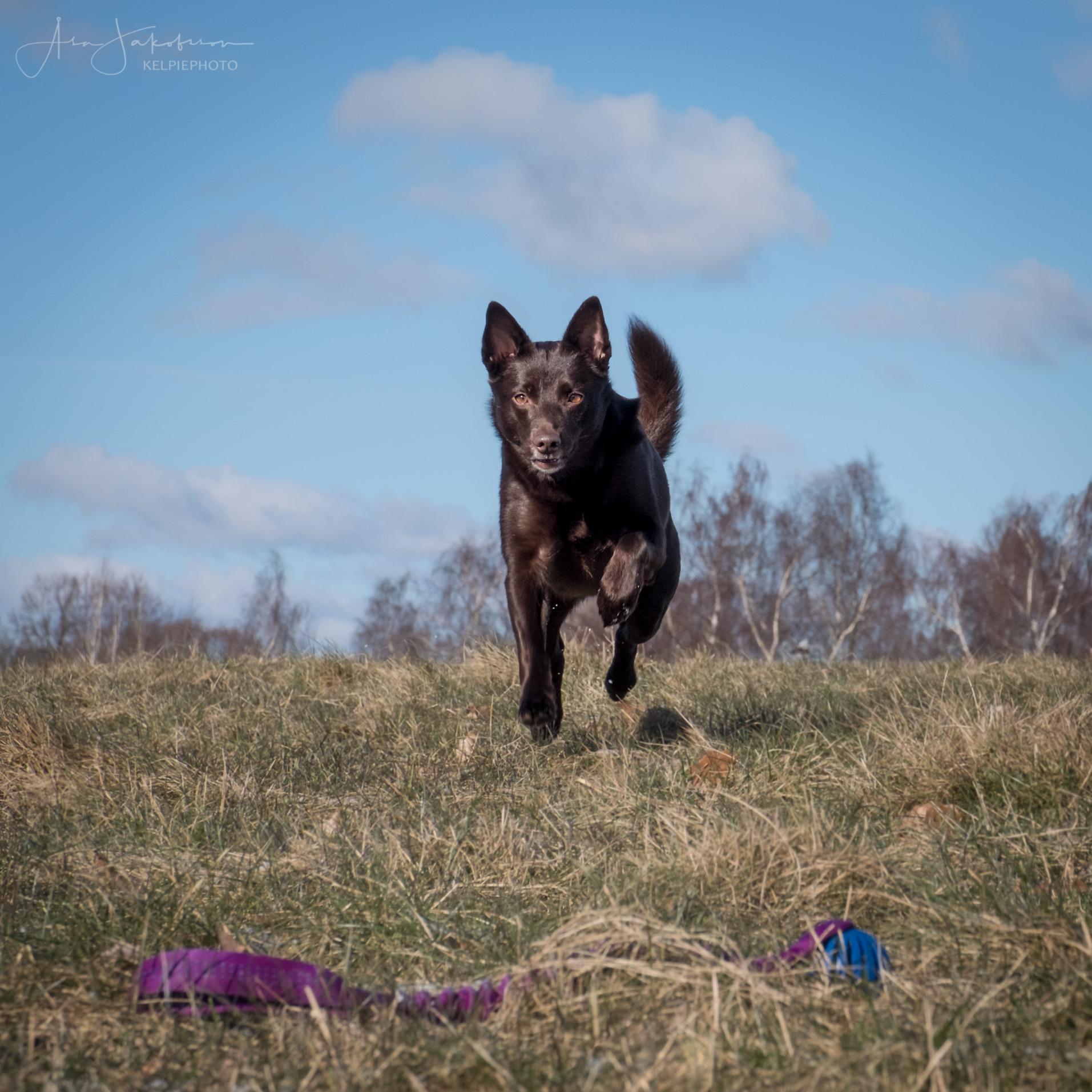 hund action leksak hundfotograf skåne höör