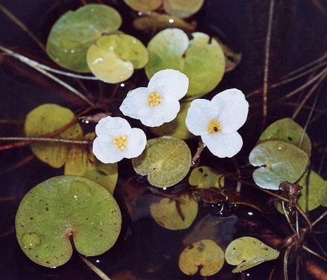 Common Frogbit. Photo by Christian Fisher [1].