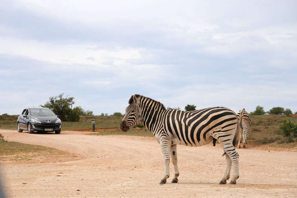 Zebra in the road in Addo Elephant Park