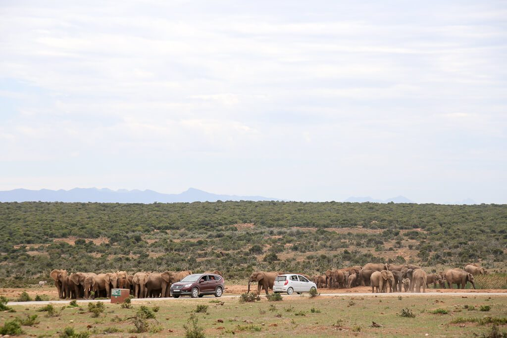 A large group of elephants near the road in South Africa