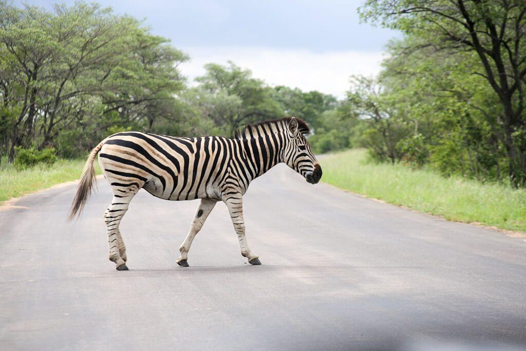 Zebra crosses the road in Kruger National Park