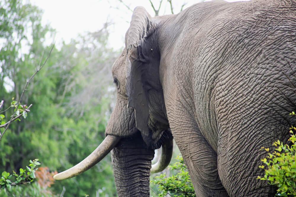 An elephant in Kruger National Park 30 Photos of a Safari in Kruger National Park in South Africa, Safari Photography in Kruger #Kruger #Safari #SouthAfrica #Africa #SelfDriveSafari #Big5Safari