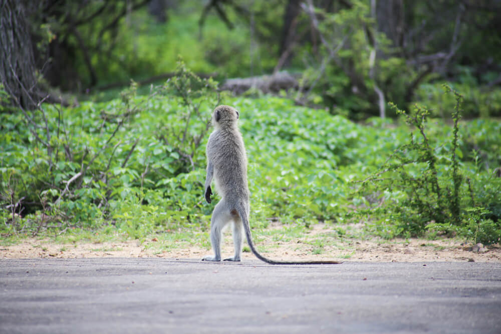 A tiny monkey stands in the road in Kruger National Park