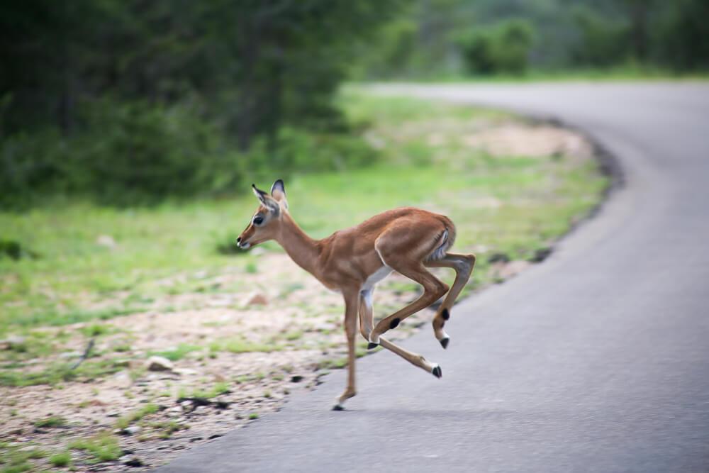 A baby impala runs across the road 30 Photos of a Safari in Kruger National Park in South Africa, Safari Photography in Kruger #Kruger #Safari #SouthAfrica #Africa #SelfDriveSafari #Big5Safari