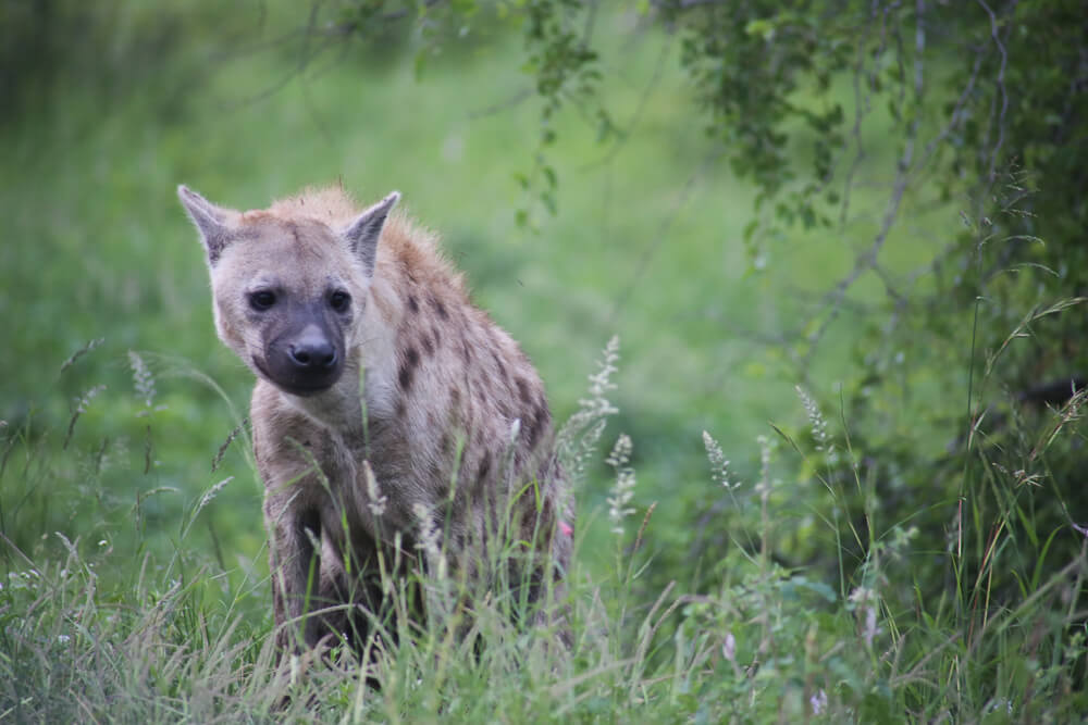 A hyena in the grass in South Africa safari
