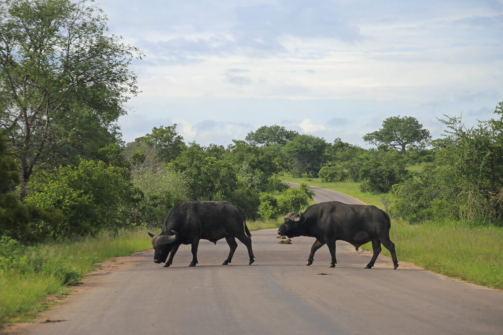 Two buffalo cross the street in Kruger National Park South Africa