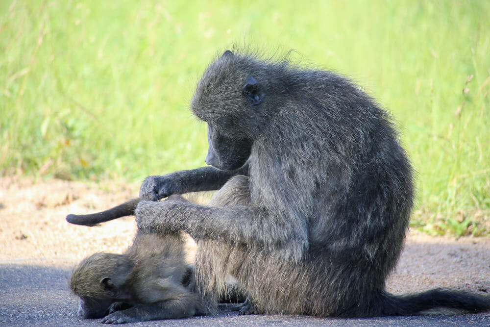 A baboon picks and cleans her baby in Kruger