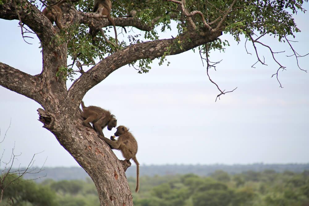Monkeys playing in Kruger National Park