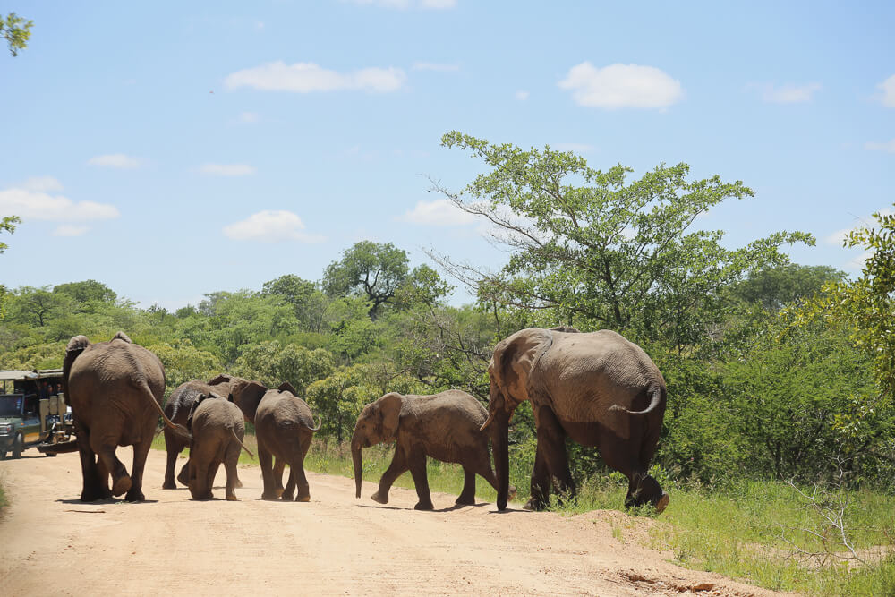 A family of elephants crossing the street in South africa