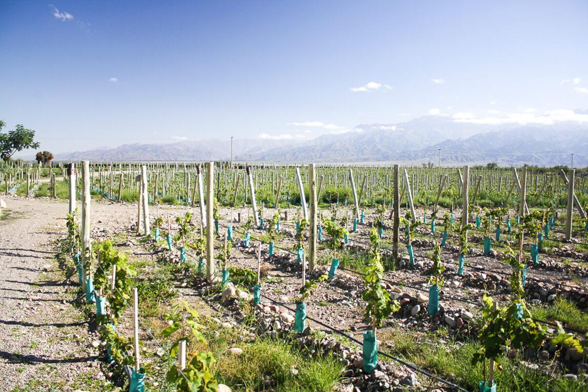 The vineyards of Gimenez Riili in Mendoza
