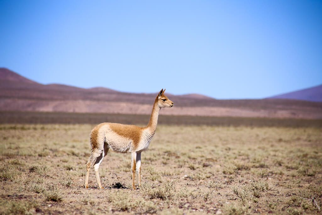 Behold the vicuña, dainty and adorable