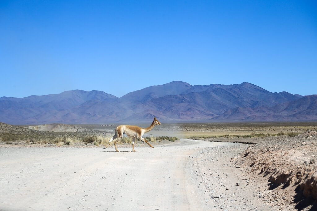 A vicuna crosses ruta 40 leaving the salt flats