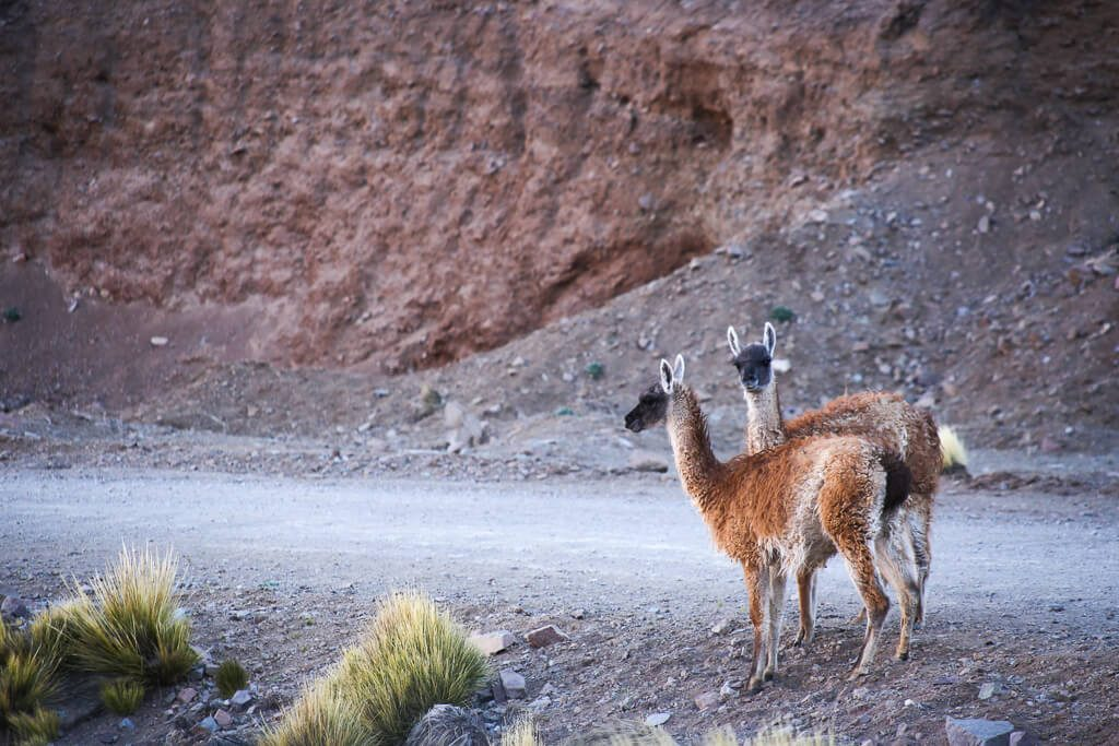 We caught these two guanacos about to do the dirty, we ruined the moment