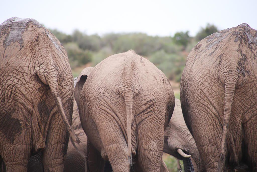 Three elephants in Addo Elephant National Park South Africa