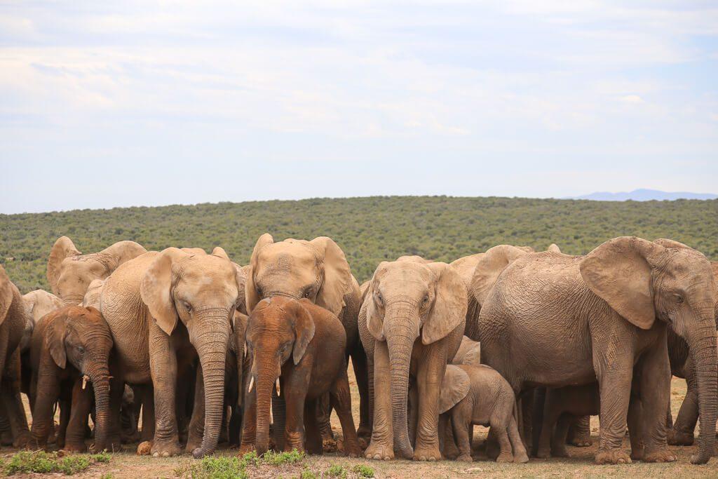 How to do an Addo Elephant Park Safari in South Africa in Addo Elephant National Park #Elephants #Addo #southafrica #africa #safari