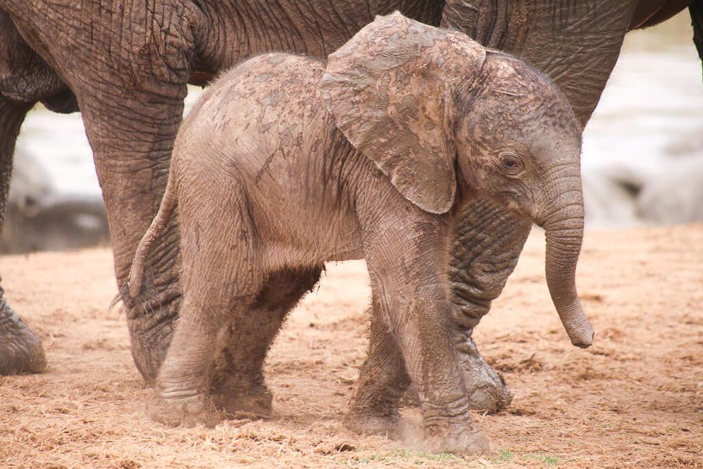 A baby elephant sighted on an Addo Elephant Park safari