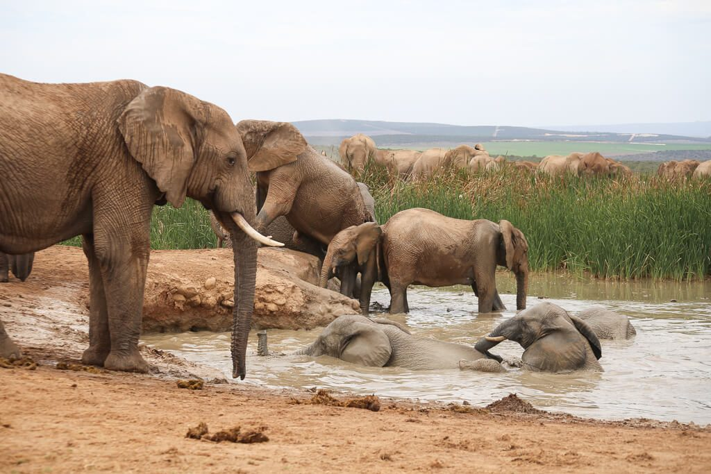 A huge family of elephants near a watering hole in South Africa
