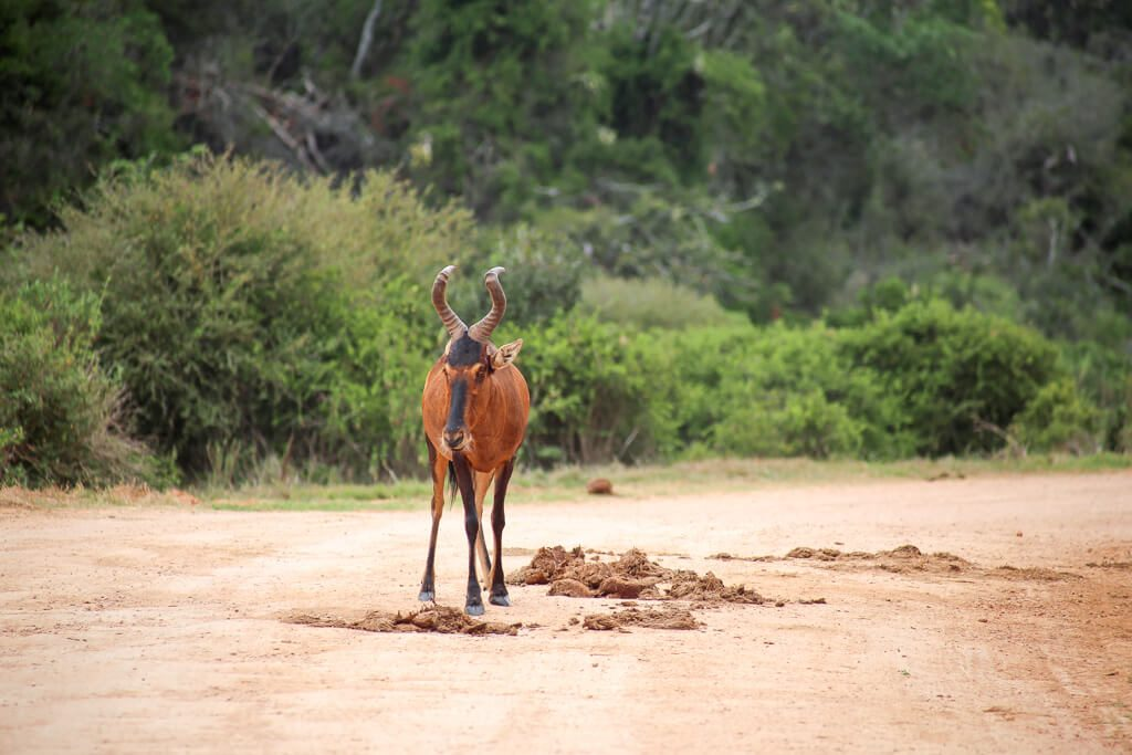 Antelope in the middle of the road in Add Elephant Park