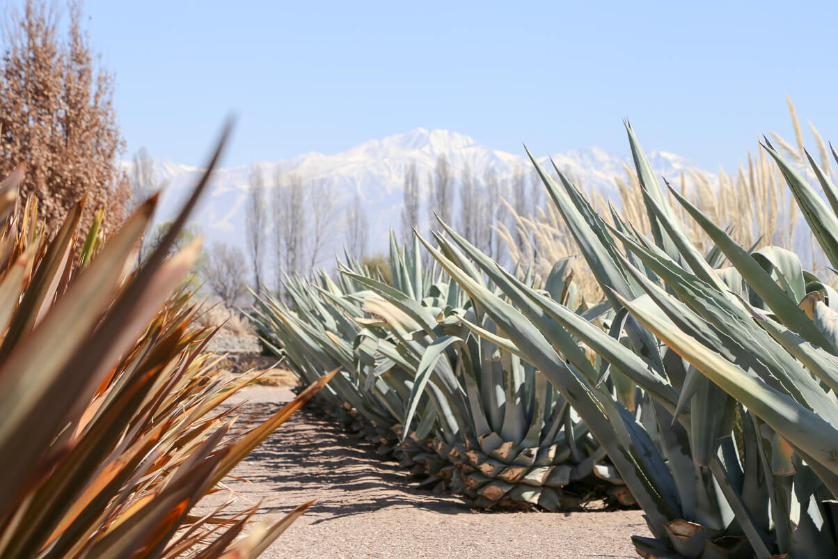Agave plants in the desert at the foot of the Mendoza Andes Mountains