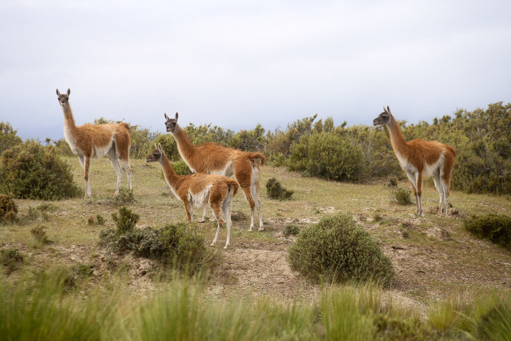 Guanaco herd in Peninsula Valdes