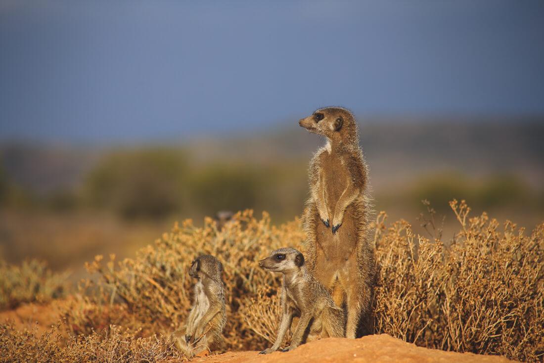 How to see Meerkats in Africa