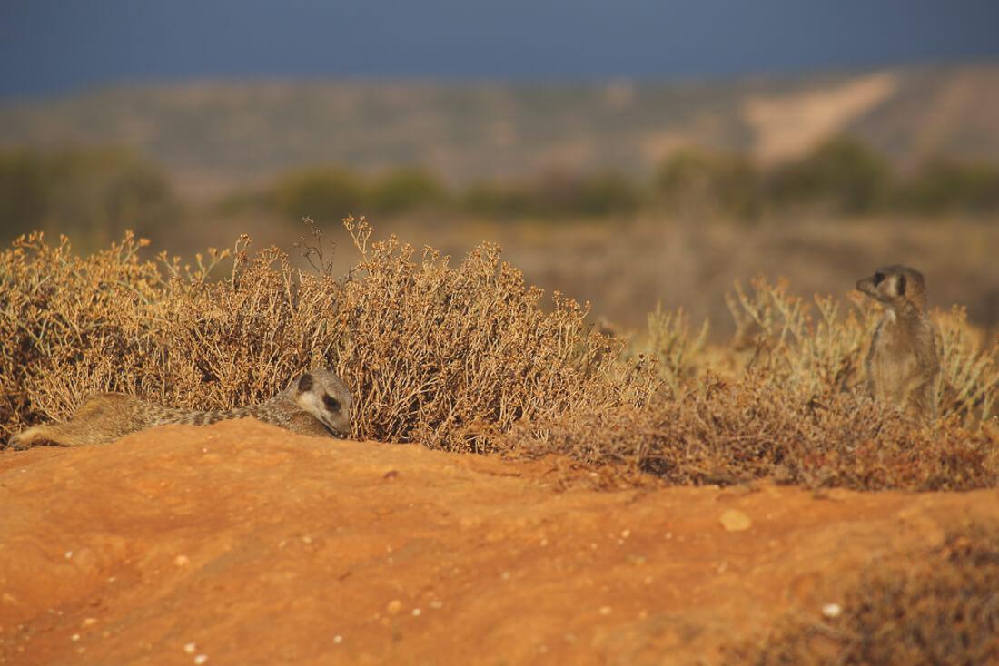 see meerkats in south africa
