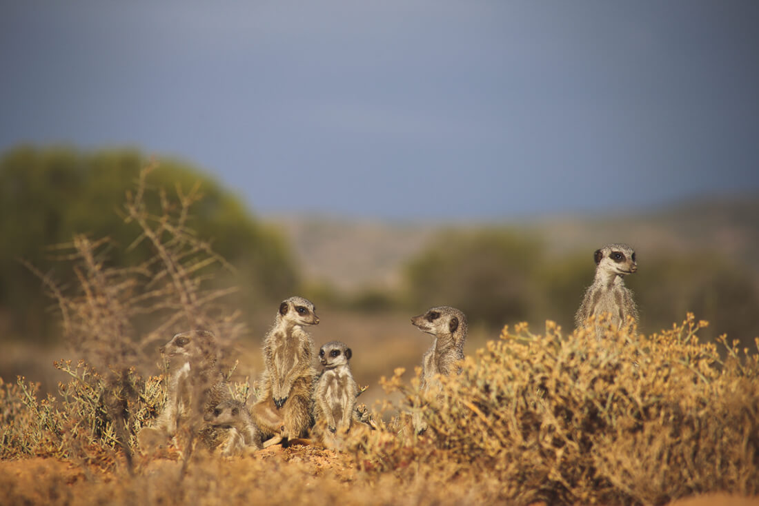 See meerkats in the wild in South Africa
