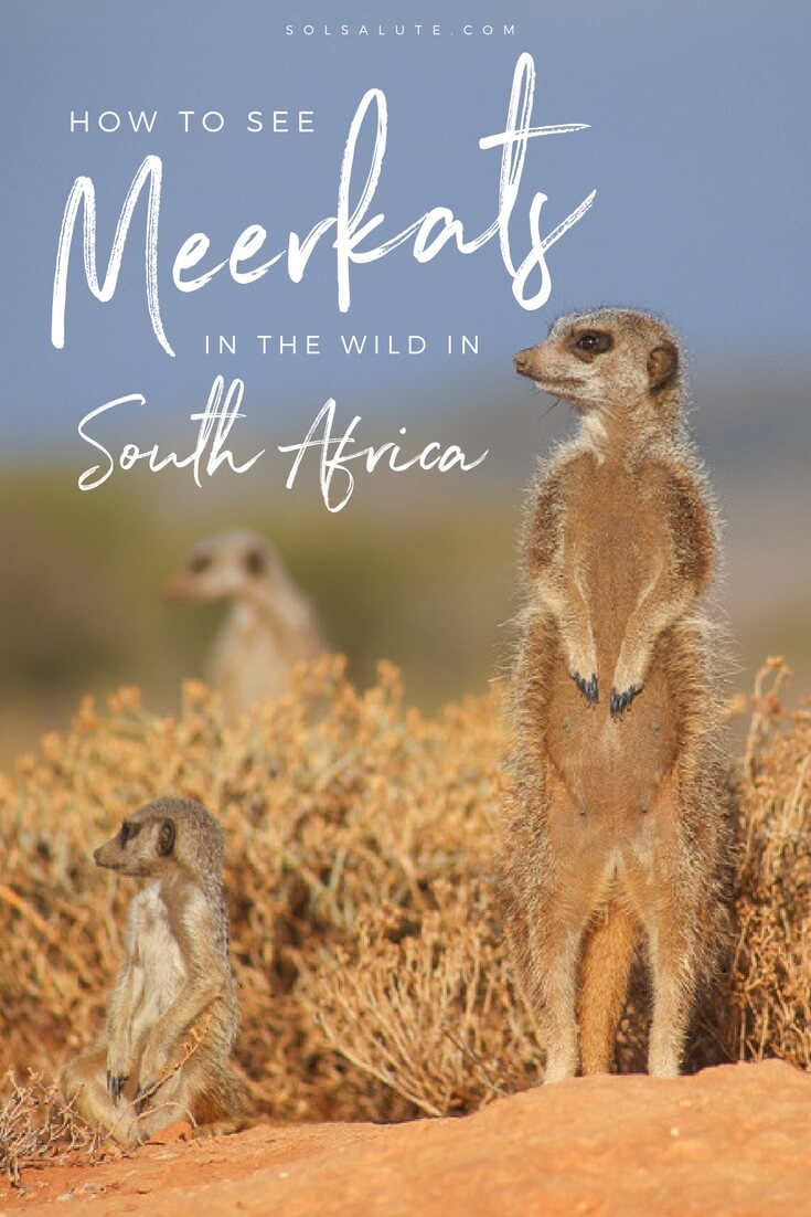 Where to see meerkats in South Africa in the wild, a Meerkats in Africa tour  #southafrica  #outdshoorn   #littlekaroo   #safari  via @solsalute