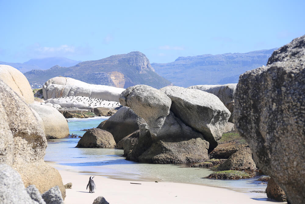 Penguins at boulder's beach on a cape town itinerary