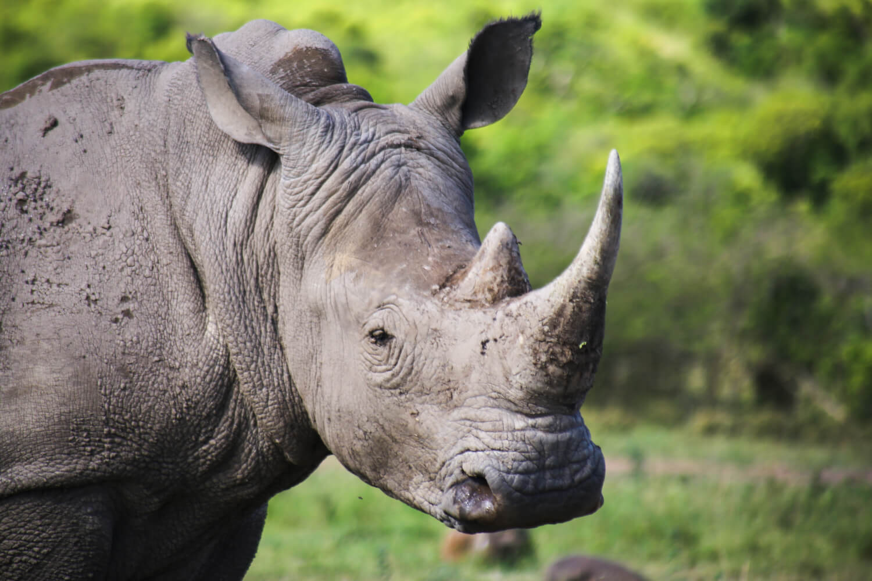 A white rhino in Hluhluwe-Imfolozi Park