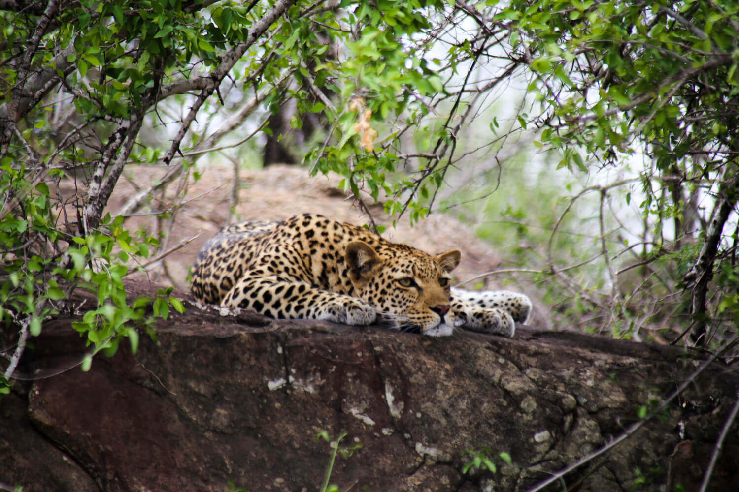 A leopard sleeping on a rock in the ultimate picture of Kruger National Park safari