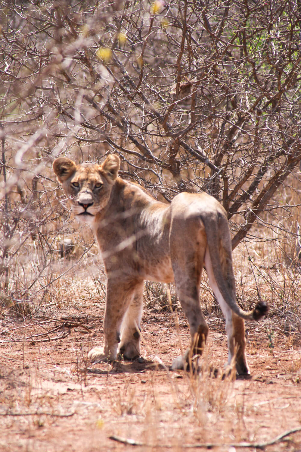 Pictures in Kruger National Park of a family of lion cubs