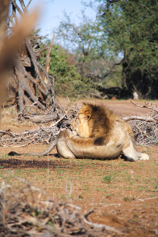 A large mail lion sleeps in Kruger National Park