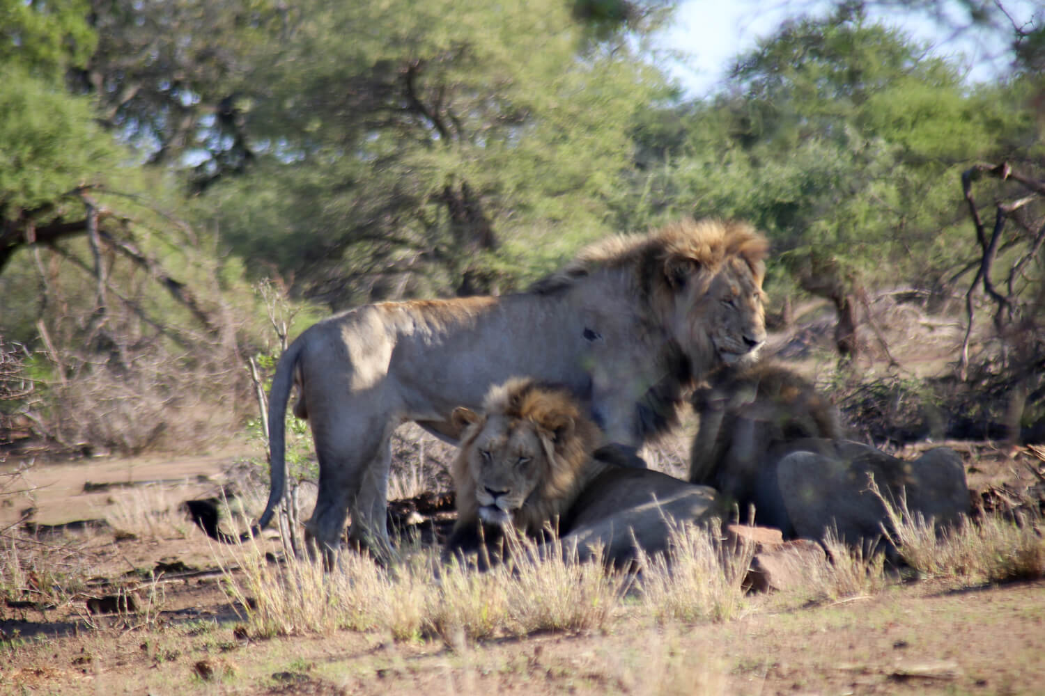 Three large male lions asleep in Kruger National Park South Africa