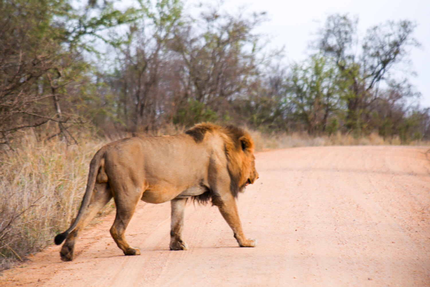 A large male lion crosses the road in Kruger National Park