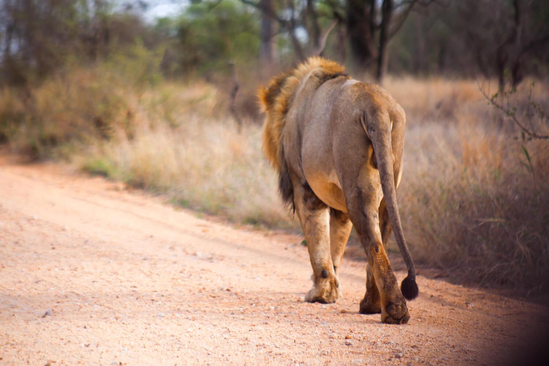 Massive lion walks on the road in South Africa Kruger Park