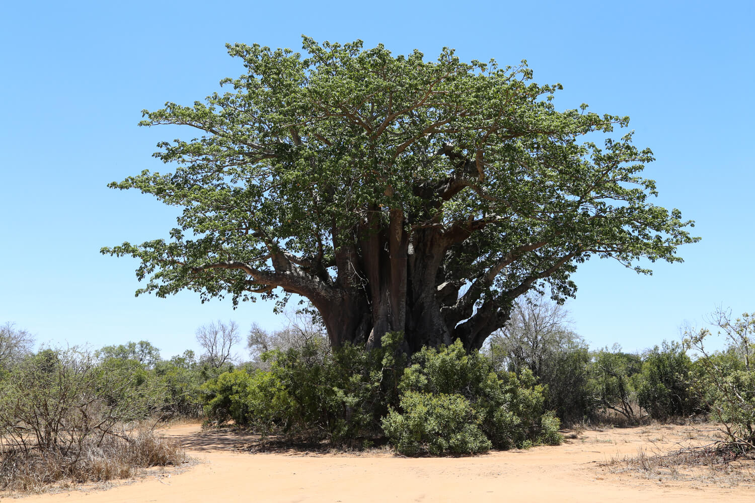 25 kilometers south of Satara Camp is the southernmost Boabab Tree! It was well worth the detour.